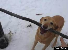 Montana the Labrador, a dog from Kamloops, struggles to get through a gate with a stick in his mouth. (YouTube)
