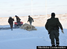Polar bear being pulled in Churchill, Manitoba. Image courtesy of Manitoba Conservation.