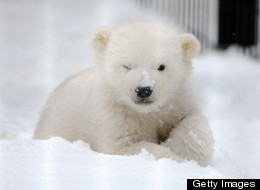 Kali the orphaned male polar bear cub from Point Lay, Alaska, explores the enclosure outside the infirmary at the Alaska Zoo in Anchorage, Alaska, on Friday, March 22, 2013. (Bob Hallinen/Anchorage Daily News/MCT via Getty Images)
