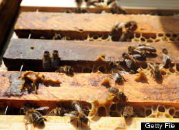 A picture taken on May 31, 2012, shows bees in a hive, placed in front of apartment buildings, in Saint-Martin-d'Hères, French Alps. JEAN-PIERRE CLATOT/AFP/GettyImages