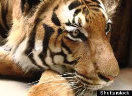 A wild bengal tiger wandered into the Nandankanan zoo in India early Monday morning. (Stock Photo via Shutterstock)
