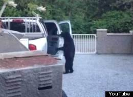 A black bear was spotted entering a pickup truck in Maple Ridge, in a video posted to YouTube on Tuesday. (YouTube)
