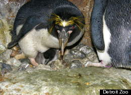 Foster dad, Tubby, shelters a baby macaroni penguin chick at the Detroit Zoo. (Courtesy Detroit Zoological Society)