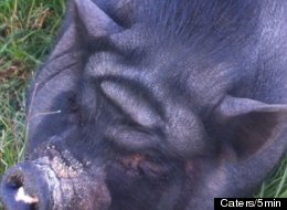 Ramona Flowers, a pig in Tijuana, Mexico, has a forehead that some people think resembles Yoda.