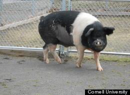Nemo the pig. Image courtesy of <a href=