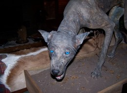 DNA says this animal is a cross between a wolf and a coyote, but a Texas researcher think it may be a chupacabra.