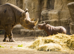 The Lincoln Park Zoo's endangered black rhino calf was named and introduced to the public Tuesday. (Todd Rosenberg/Lincoln Park Zoo)