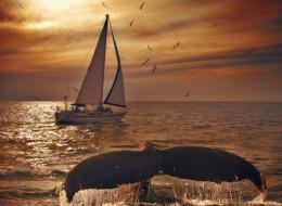 Humpback whales Watching season in Banderas Bay and Pacific Ocean near Puerto Vallarta.