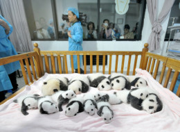 CHENGDU, CHINA - SEPTEMBER 23:  (CHINA OUT) Fourteen Panda cubs lie on a bed for members of the public to view at Chengdu Research Base for Giant Panda Breeding on September 23, 2013 in Chengdu, Sichuan Province of China. In 2013 twenty Panda cubs were born, with 17 of those cubs surviving. The Chengdu Panda Base was founded in 1987 with six giant pandas rescued from the wild and today has increased their captive population to over 83 individuals.   (Photo by ChinaFotoPress/ChinaFotoPress via Ge
