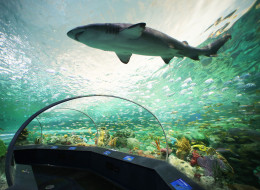 Visitors to Toronto may not be able to swim with the sharks on Bay Street but they'll have an up-close view of the ocean predators at Ripley's Aquarium Of Canada (Ripley's Aquarium of Canada/ HO).