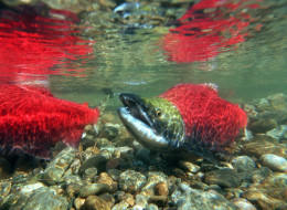 Salmon farming in B.C. is at the centre of a legal battle to regulate the activity.