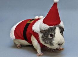 Perfect for any stylish guina pig: A Santa Claus costume