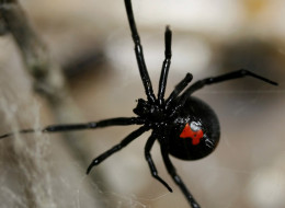 Black widow spiders found on grapes have been a common occurrence in several U.S. states recently. (Photo via Getty)
