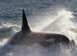 Orcas use careful listening when the hunt for prey, new research suggests.