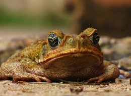 The cane toad can be poisonous to dogs and other pets, veterinarians warn.