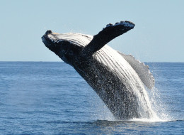 Humpback whales are just one species at the centre of a court battle, in which Ecojustice claims that the federal government is not doing enough to abide by the Species at Risk Act.