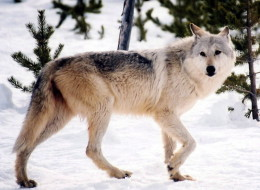 It was a successful experiment in recovering an endangered species — too successful, for some, and the U.S. Fish and Wildlife Service now ponders lifting protections for transplanted Canadian grey wolves across the United States.