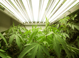 Tweed Inc., an Ontario company that won a federal licence today to grow medical marijuana, plans to seek a listing on the TSX Venture Exchange. (Getty Images)