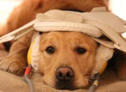 A dog in the fMRI brain scanner.