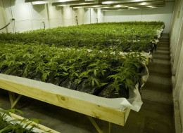 Photo shows thousands of young marijuana plants which were discovered by the South African Police Service (SAPS) on July 26, 2012 in a warehouse in the industrial area of Killarney Gardens, about 25Km from the centre of Cape Town, South Africa. The facility is one of two such facilities that SAPS discovered on July 26. Police believe that the marijuana plants are of the potent and costly 'cheese' strain. AFP PHOTO / RODGER BOSCH        (Photo credit should read RODGER BOSCH/AFP/GettyImages)