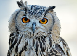 Stock photo; owl pictured is not Forrest