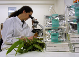 An assistant studies marijuana leaves in the Maripharma Laboratory February 15, 2002 in Rotterdam, Netherlands. Canada's first medical marijuana clinical trial has been registered with Health Canada, a milestone that could be the first step toward legitimacy in eyes of the medical community.