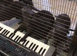 The world's cutest otters plays the world's worst song on keyboard