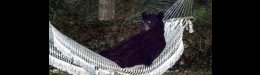 Image for Man Takes Action After Bear Takes Control Of His Hammock