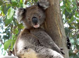 Koala hugging a tree trunk during hot weather.