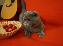 Air Canada is being blamed for losing Chester, a Blue Scottish Fold cat, while it was being transported from Montreal to Vancouver.