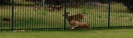 Image for A Pit Bull And A Deer Are Best Buds, And They Play Their Own Special Game Together