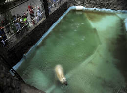 Arturo, the only polar bear in Argentina, living in captivity at a zoo in Mendoza, 650 miles west of Buenos Aires, is pictured at his enclosure on Feb. 5, 2014. Specialists and activists are lobbying to transfer old Arturo to a zoo in Canada to spare him from the Argentine heat.