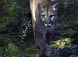 UNSPECIFIED - MARCH 03: Cougar, Puma or Mountain Lion (Puma concolor), Felidae. (Photo by DeAgostini/Getty Images)