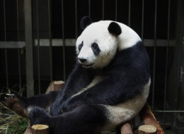 This picture taken on July 17, 2014 shows giant panda Ai Hin sitting in its enclosure at the Chengdu Giant Panda Breeding Research Centre in Chengdu, in southwest China's Sichuan province. Hopes that tiny panda paws would be seen in the world's first live-broadcast cub delivery were dashed on August 26, 2014 when Chinese experts suggested the 'mother' may have been focusing more on extra bun rations than giving birth.   CHINA OUT     AFP PHOTO        (Photo credit should read STR/AFP/Getty Image
