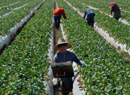 Migrant workers harvest strawberries at a farm March 13, 2013 near Oxnard, California. AFP PHOTO/JOE KLAMAR
