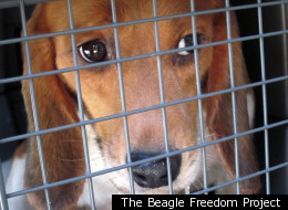 The Beagle Freedom Project