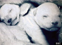 Frozen Planet Fakery: Attenborough Has Defended The Fact That The Polar Bear Cubs Were Actually Born In German Zoo