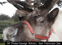 Reindeer and caribou are the same thing. Historically, the European/Asian reindeer and American Caribou were considered to be different species, but they are actually one in the same.