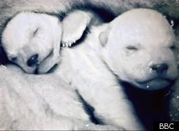 'Frozen Planet's baby polar bears were filmed in a zoo