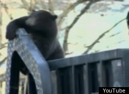 This Black Bear Hitched A Lift On The Back Of A Rubbish Truck