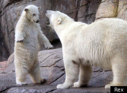 Polar bear mum had had enough of her cub: but who can resist those eyes?