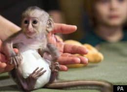 Mona monkey wears a nappy at a zoo in Germany