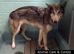 A similar male wolf-dog was found in Alaska earlier in December.