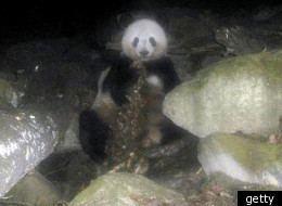 Picture of a panda eating meat will shock many