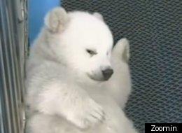 Polar bear cubs make public debut