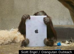 There's an app for that! An ape studies his iPad