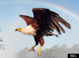 Fish eagle flying under a rainbow, Victoria Falls, Zimbabwe, Africa.