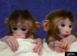 The monkeys (pictured) grew from a mixed cocktail of cells taken from a number of different rhesus monkey embryos