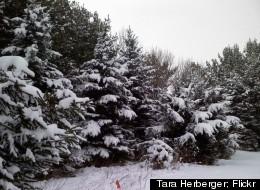 A fresh snowfall covers evergreen trees in Ohio.