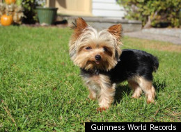 Lucy, a mini Yorkshire terrier from Absecon, New Jersey, is now in the Guinness Book of World Records. Weighing just 2 1/2 pounds, Lucy was named the world's smallest working dog last week, bumping out a 6.6-pound police dog in Japan.